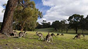 Превью обои кенгуру, множество, прогулка, трава, деревья