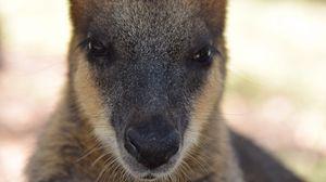 Превью обои кенгуру, морда, нос, глаза