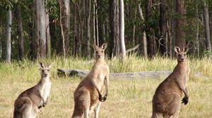 Превью обои кенгуру, поле, трое