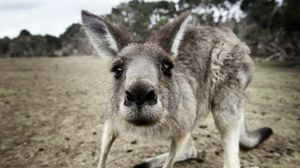 Превью обои кенгуру, прикольный, удивление, нос, любопытный