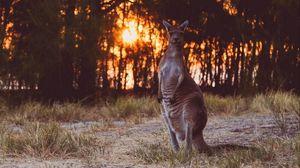 Превью обои кенгуру, забавный, дикая природа, закат