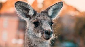 Превью обои кенгуру, уши, взгляд, милый, австралия