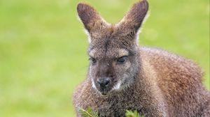 Превью обои кенгуру, животное, взгляд, ель, ветки