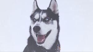 Превью обои хаски, собака, морда, голубоглазая