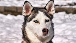 Превью обои хаски, собака, морда, снег