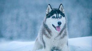 Превью обои хаски, собака, снег, морда