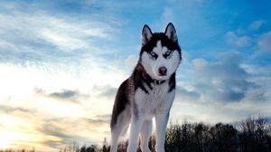 Превью обои хаски, собака, возвышенность, снег