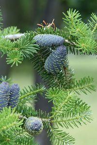 Превью обои хвоя, шишки, дерево, ветки