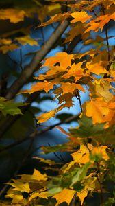Превью обои клен, листья, ветки, осень, макро