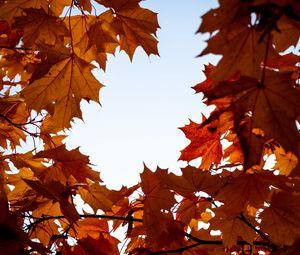 Превью обои клен, листья, ветки, осень, желтый, коричневый