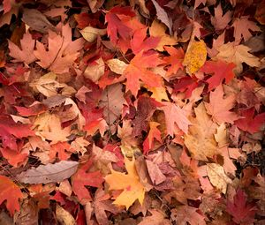 Превью обои кленовые листья, листья, красный, осень, макро