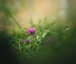 Превью обои клевер, цветок, трава, макро