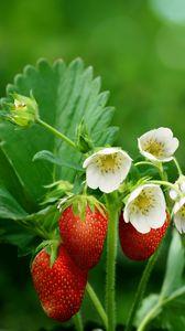 Превью обои клубника, ягоды, спелый, цветы, размытость