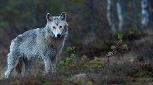 Превью обои койот, хищник, лес, зверь, дикая природа