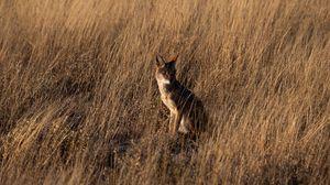 Превью обои койот, коричневый, трава, животное, дикая природа