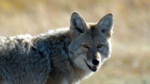 Превью обои койот, морда, хищник, животное