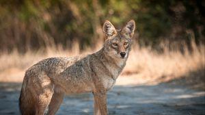 Превью обои койот, морда, хищник, животное, взгляд
