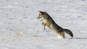 Превью обои койот, прыжок, охота, снег, хищник, дикая природа