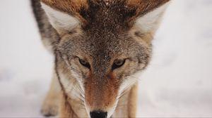 Превью обои койот, снег, взгляд, хищник, дикая природа