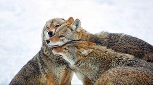 Превью обои койот, волки, стая, забота, зима, снег