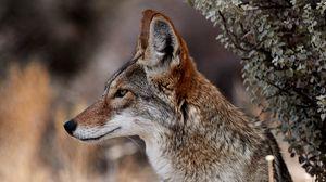 Превью обои койот, животное, дикая природа, коричневый, серый