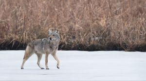 Превью обои койот, животное, серый, снег, дикая природа