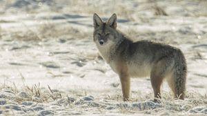 Превью обои койот, животное, серый, снег, зима, дикая природа