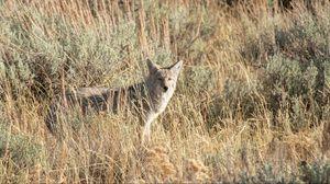 Превью обои койот, животное, серый, трава, дикая природа