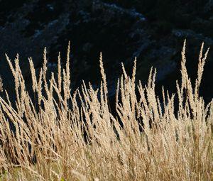 Превью обои колосья, поле, растение, горы, природа