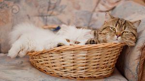 Превью обои корзина, коты, лежать, морда