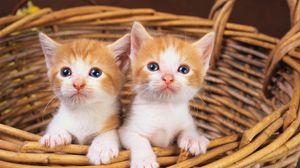 Превью обои корзина, котята, пара