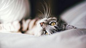 Превью обои кошка, животное, питомец, серый
