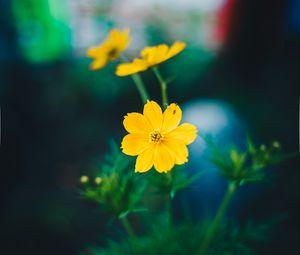 Превью обои космея, полевой цветок, размытость
