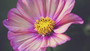 Превью обои космея, цветок, лепестки, фиолетовый, макро