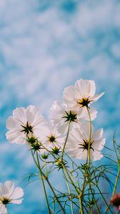 Превью обои космея, цветы, белый, лепестки, небо, лето