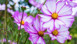 Превью обои космея, цветы, лепестки, макро, фиолетовый
