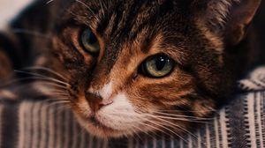 Превью обои кот, коричневый, питомец, морда