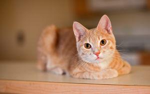 Превью обои кот, питомец, взгляд, отдых