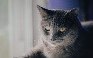 Превью обои кот, питомец, животное, взгляд, серый