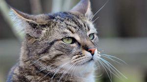 Превью обои кот, серый, усы, морда