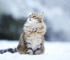 Превью обои кот, снег, взгляд, пушистый