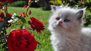 Превью обои котенок, пушистый, морда, роза, трава, взгляд
