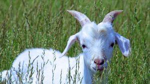 Превью обои коза, детеныш, трава, прогулка