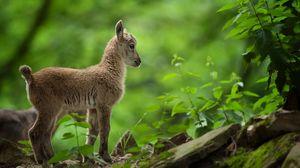 Превью обои коза, козленок, деревья, лес, трава
