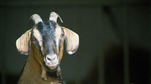 Превью обои коза, рога, копыта