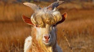 Превью обои коза, рога, кудри, шерсть