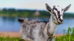 Превью обои коза, животное, милое, взгляд, трава