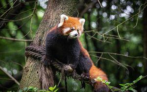 Превью обои красная панда, животное, дерево, ветки