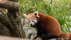 Превью обои красная панда, животное, листья, пушистый