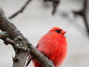 Превью обои красный кардинал, птица, ветки, красный, дикая природа